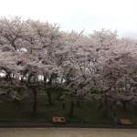 2017萩が丘公園桜